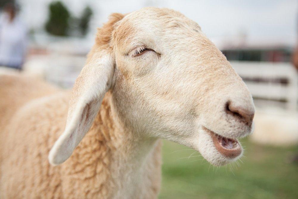Sheep Tangle